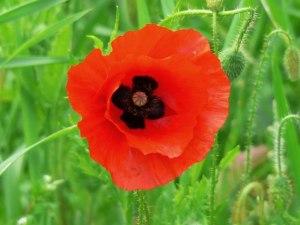 A_poppy_flower_in_June,_near_Savernake_-_geograph.org.uk_-_638667